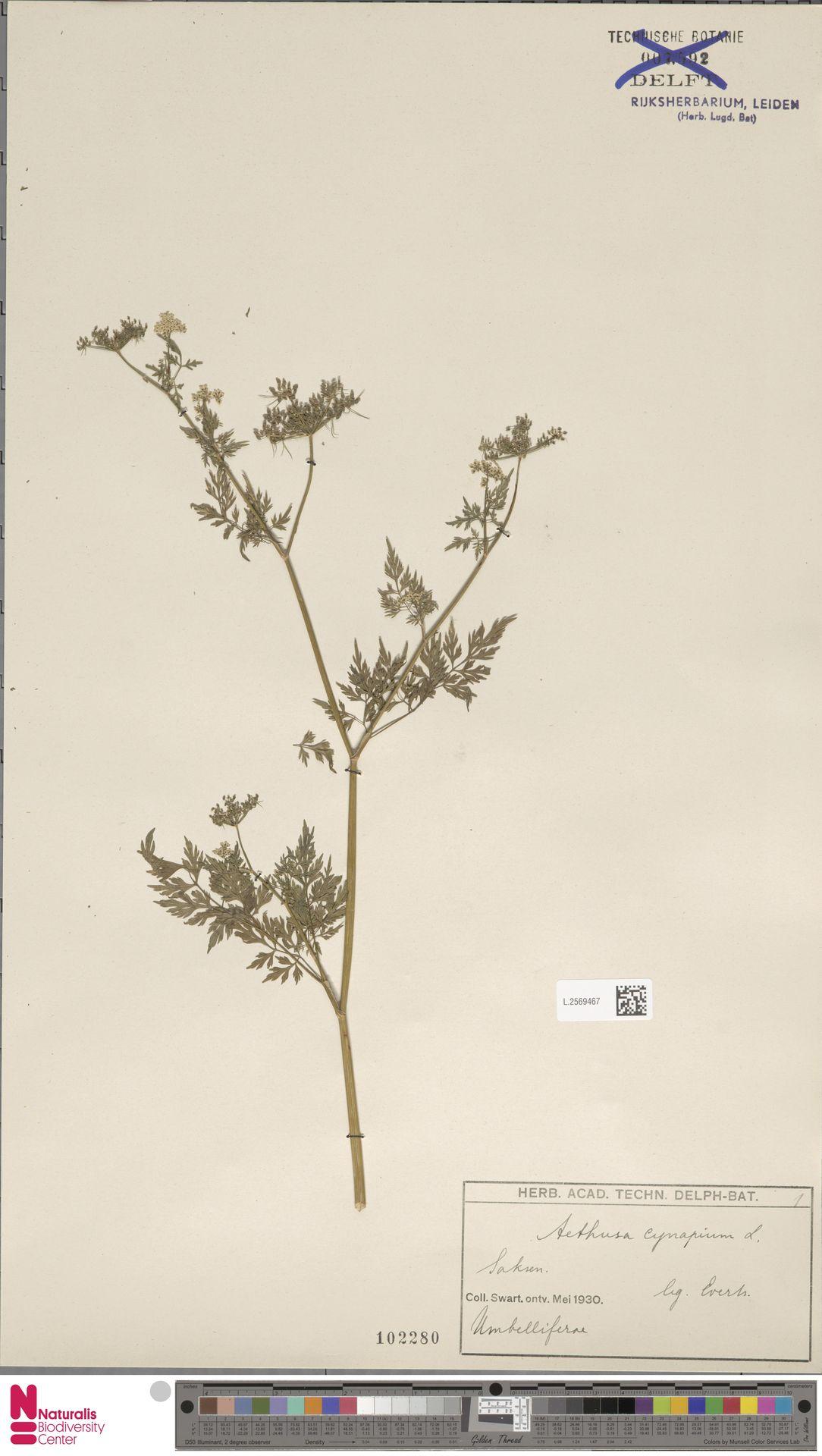 L.2569467 | Aethusa cynapium L.