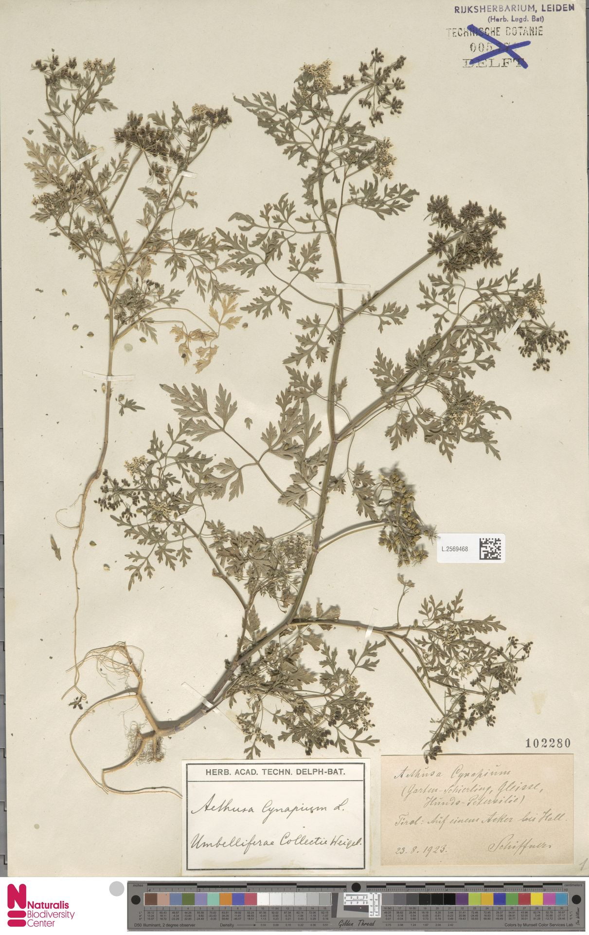 L.2569468 | Aethusa cynapium L.