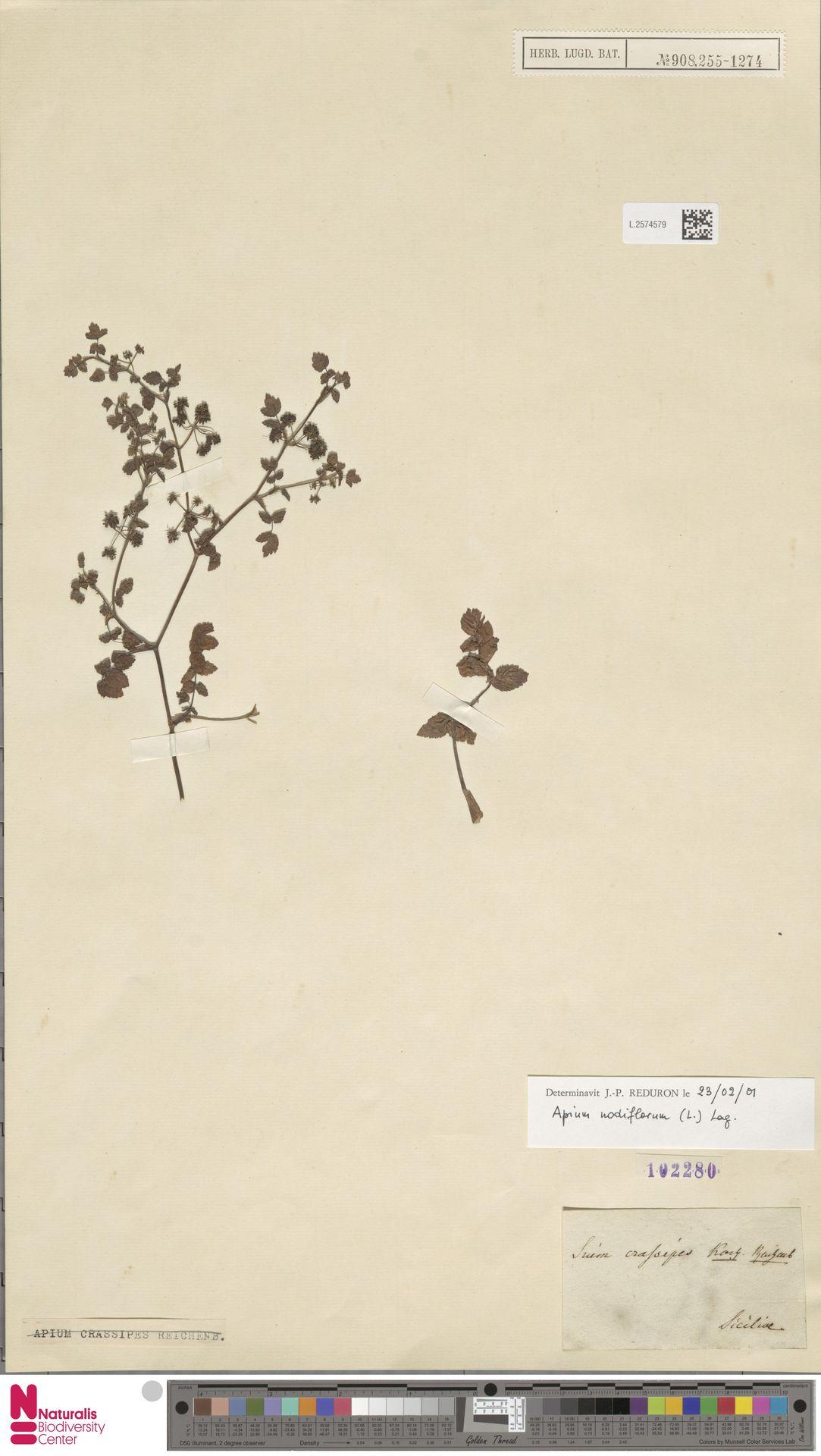 L.2574579 | Apium nodiflorum (L.) Lag.