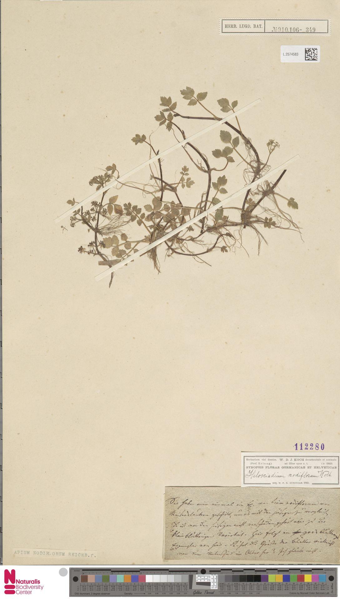 L.2574583 | Apium nodiflorum (L.) Lag.