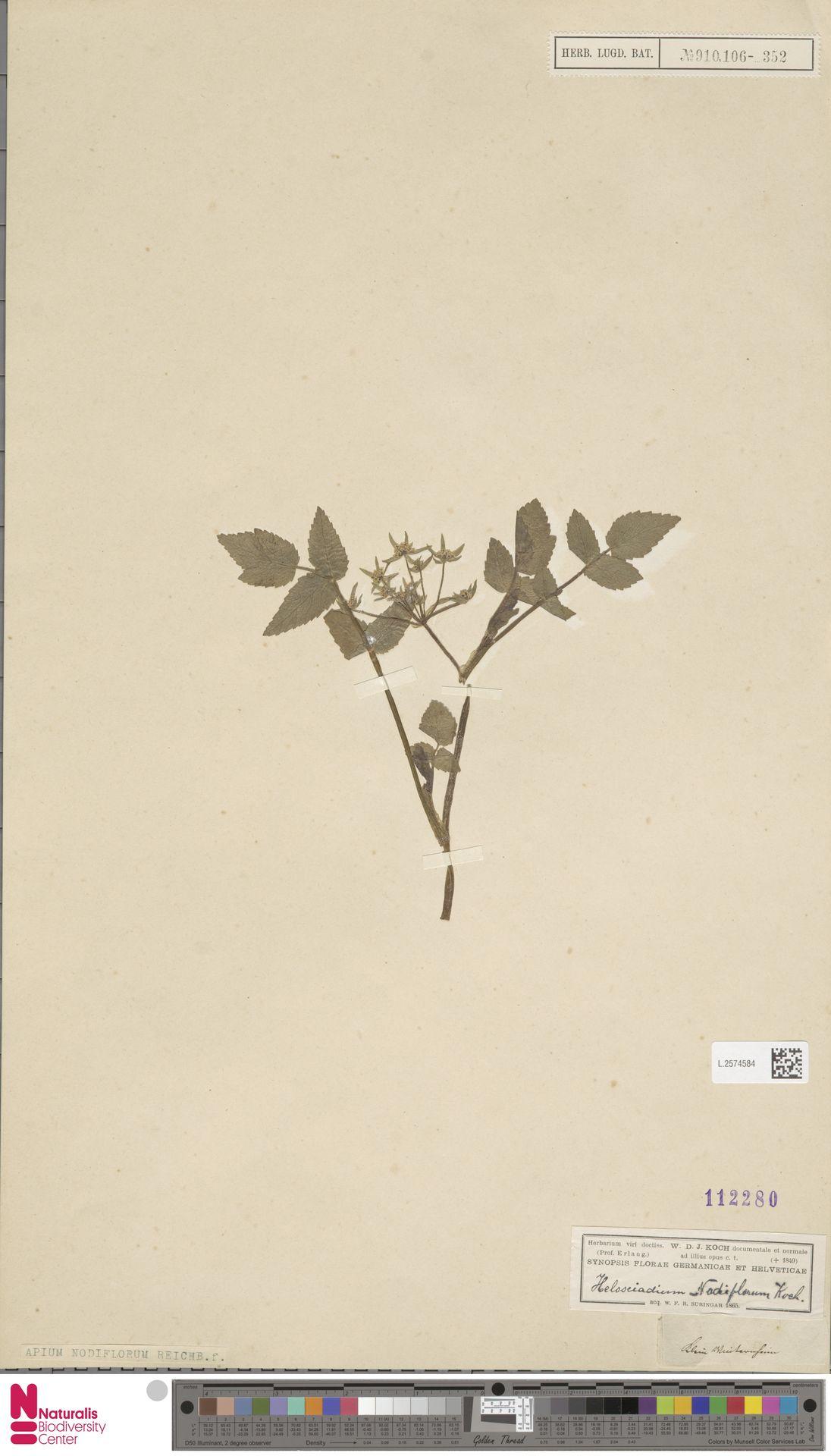 L.2574584 | Apium nodiflorum (L.) Lag.