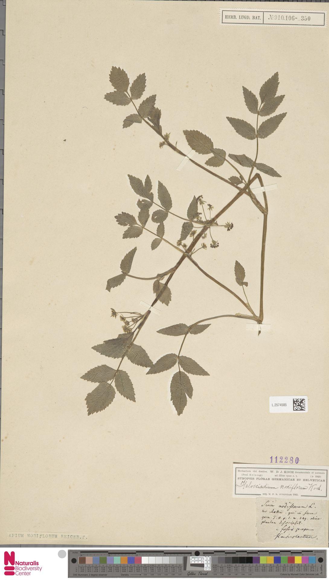 L.2574585 | Apium nodiflorum (L.) Lag.