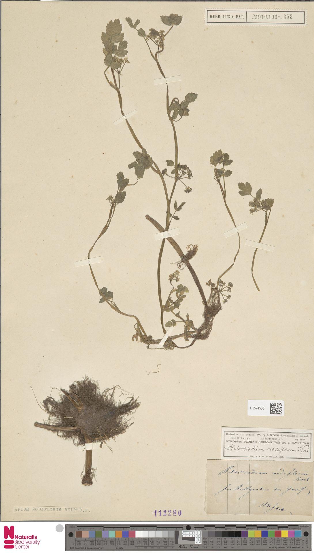 L.2574586   Apium nodiflorum (L.) Lag.