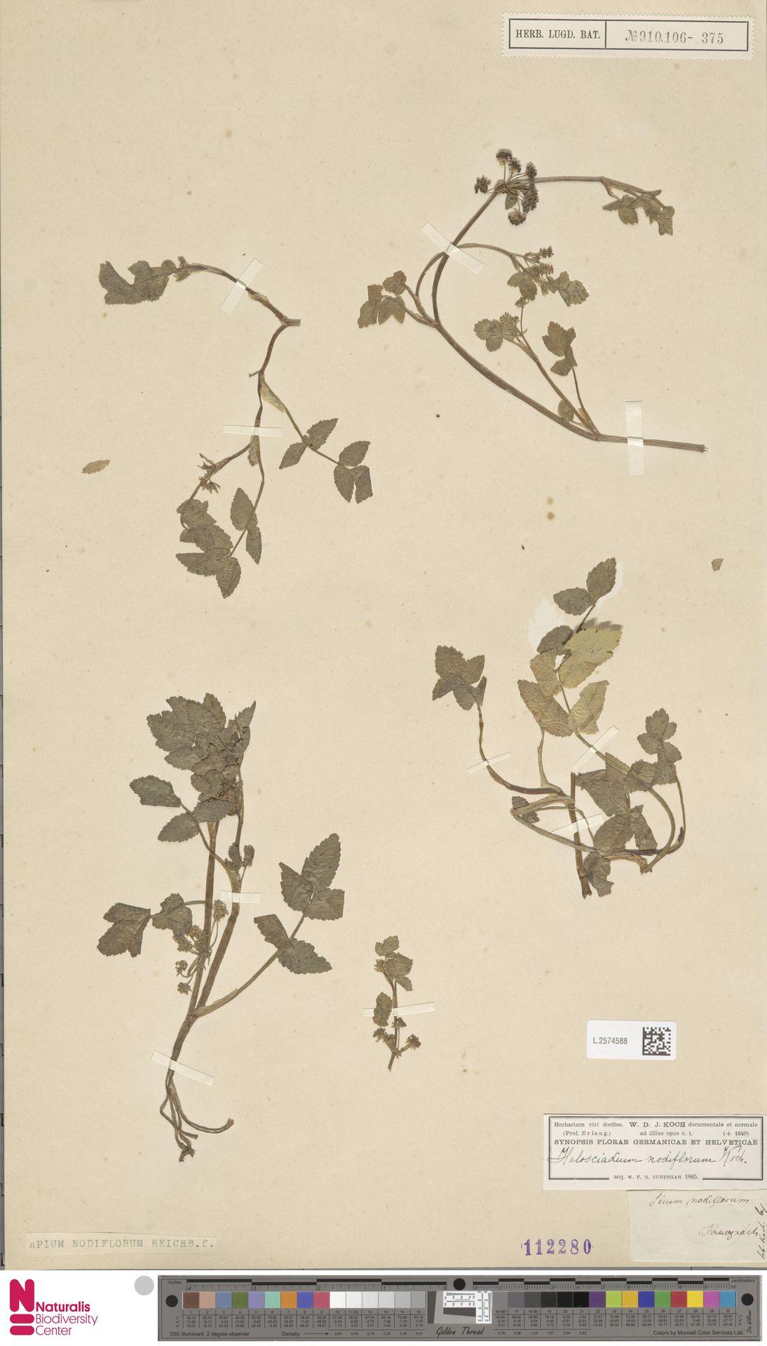 L.2574588 | Apium nodiflorum (L.) Lag.