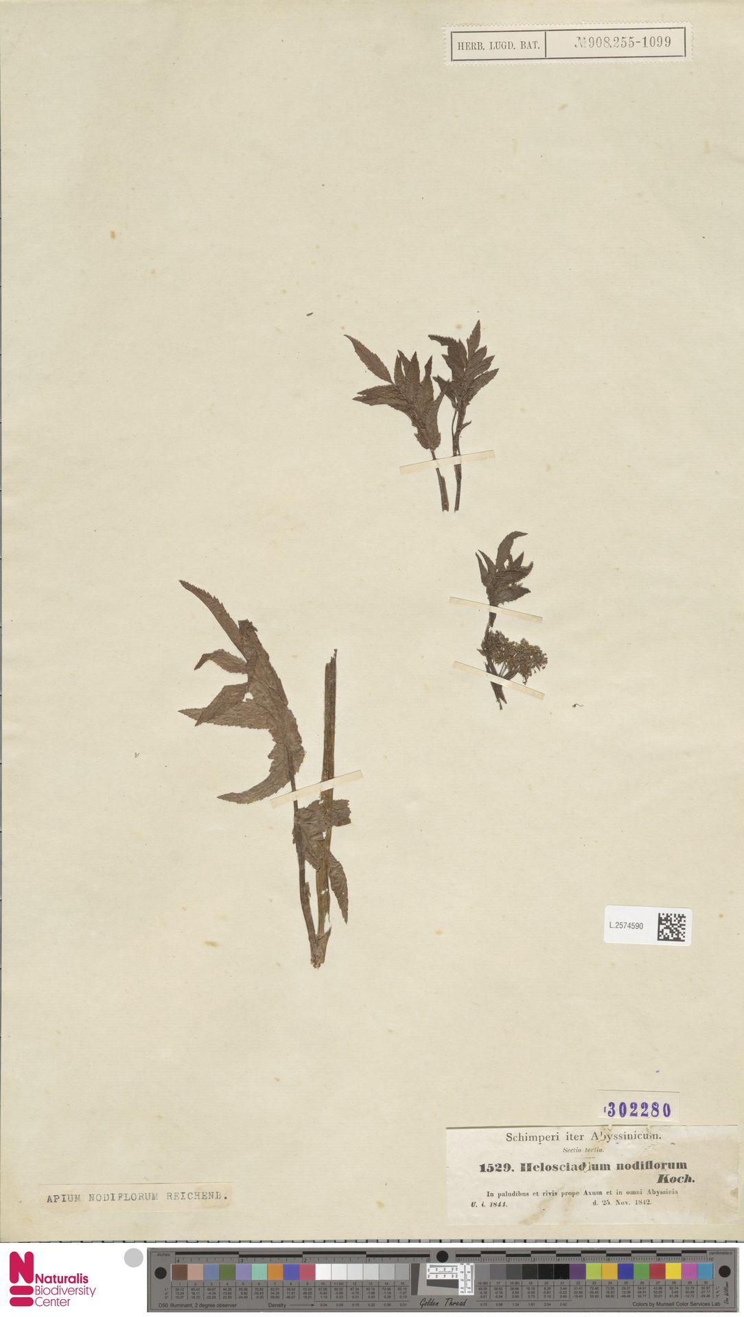 L.2574590 | Apium nodiflorum (L.) Lag.