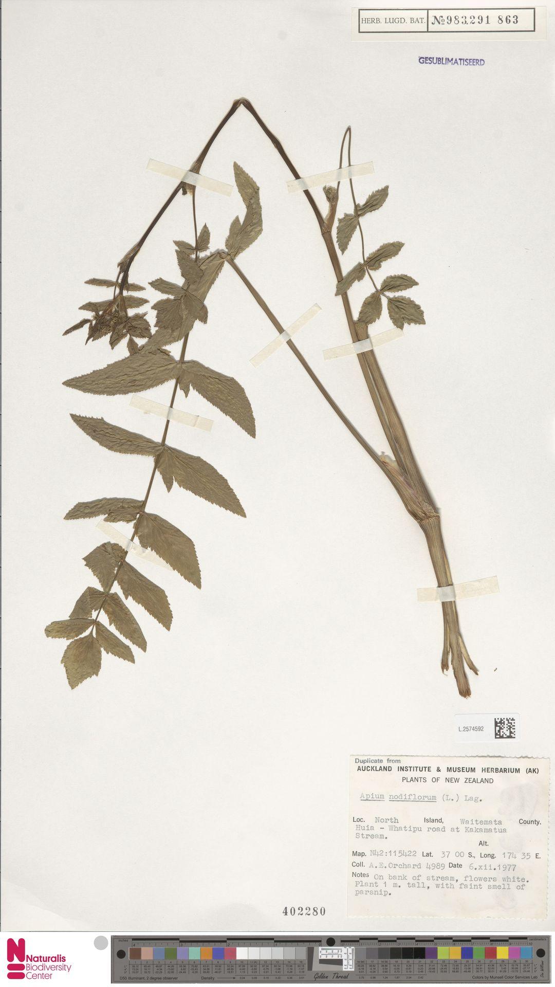 L.2574592   Apium nodiflorum (L.) Lag.