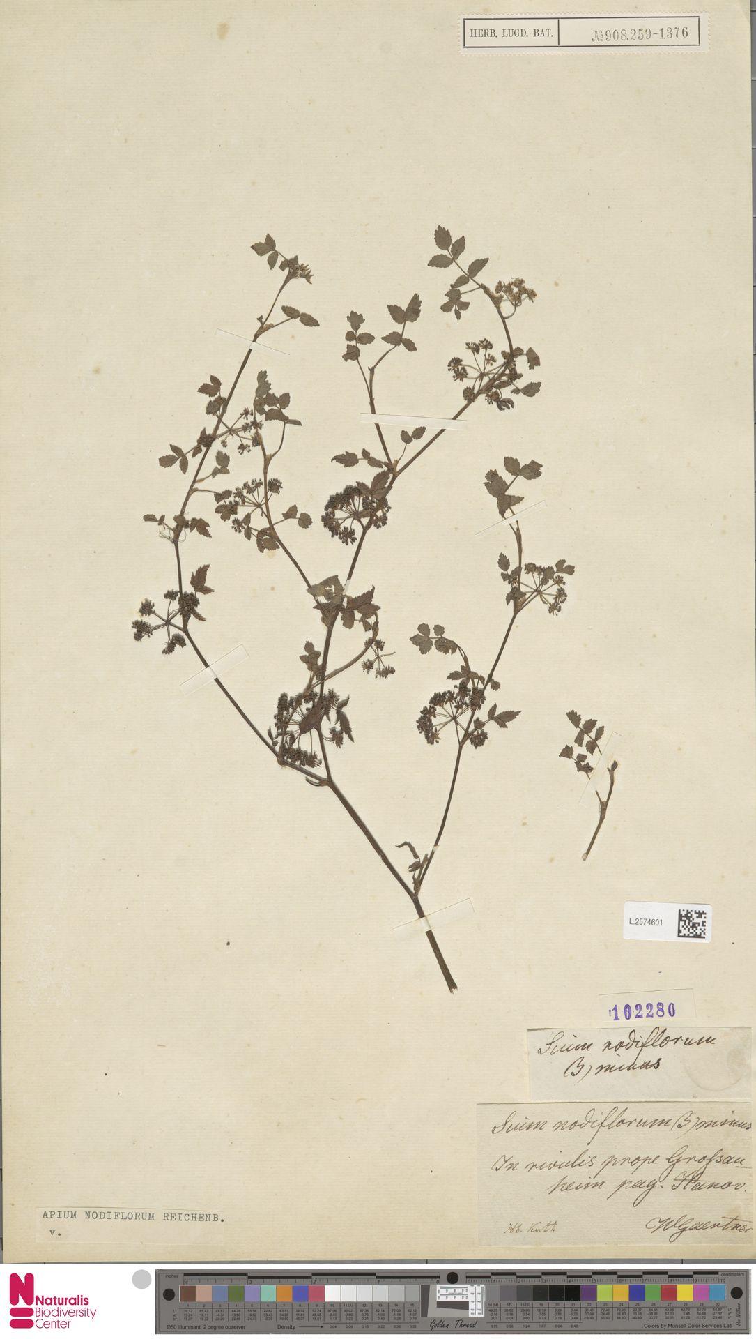 L.2574601   Apium nodiflorum (L.) Lag.