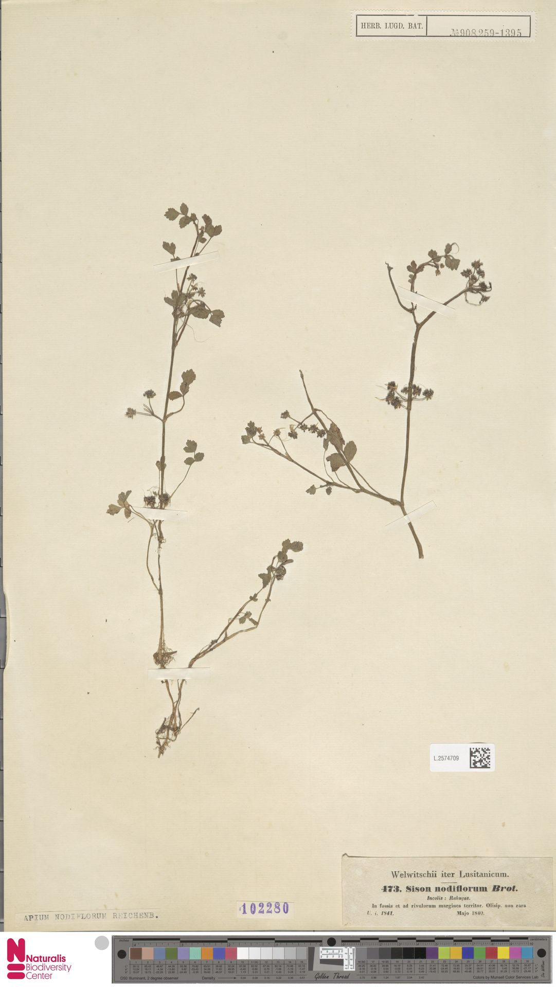 L.2574709 | Apium nodiflorum (L.) Lag.