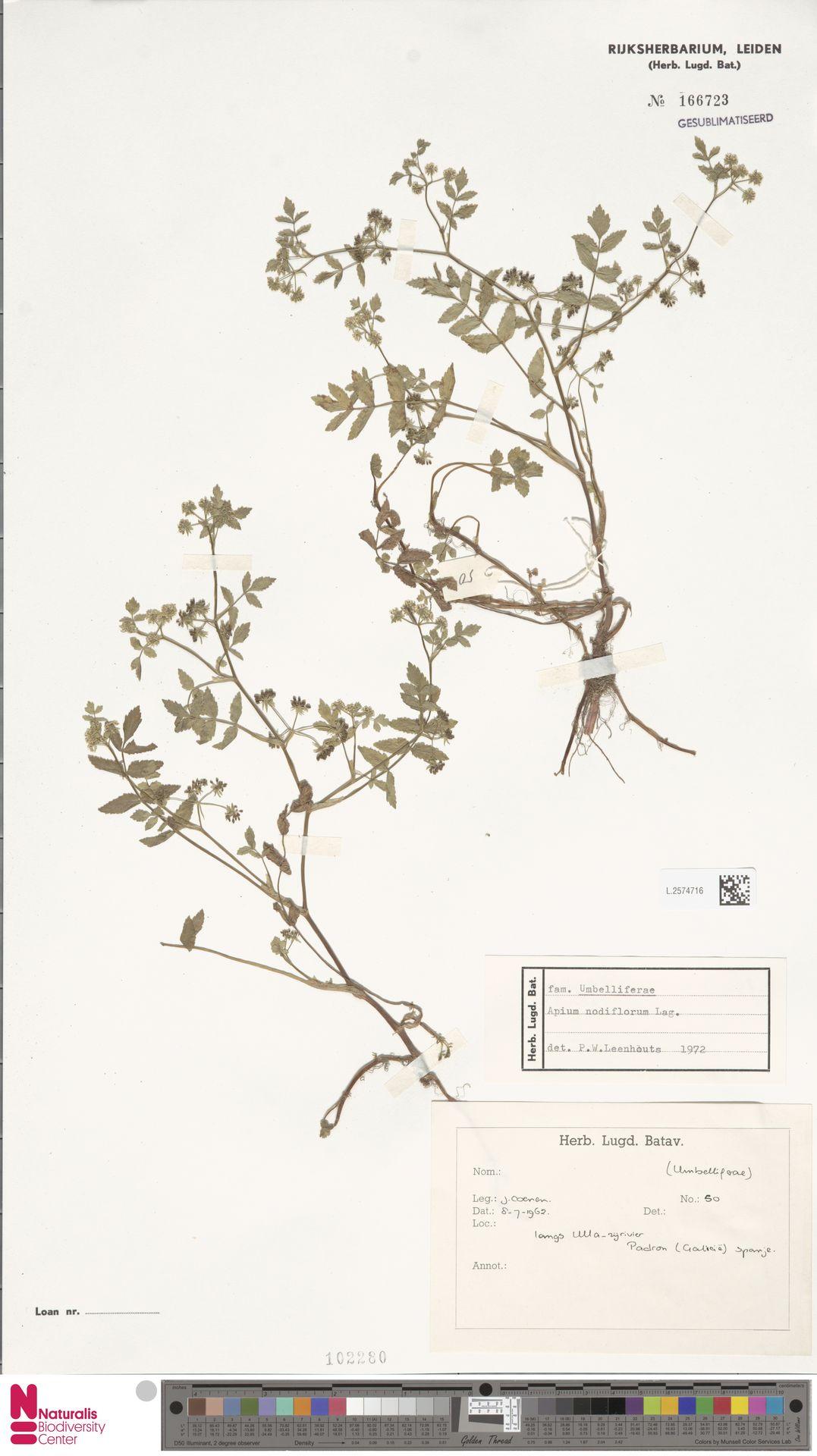 L.2574716   Apium nodiflorum (L.) Lag.