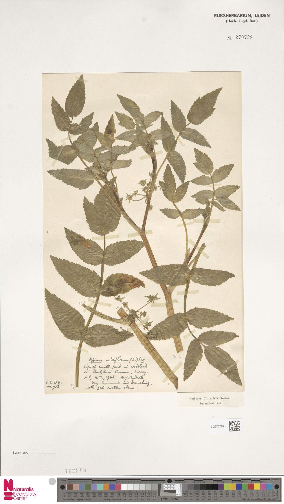 L.2574718 | Apium nodiflorum (L.) Lag.