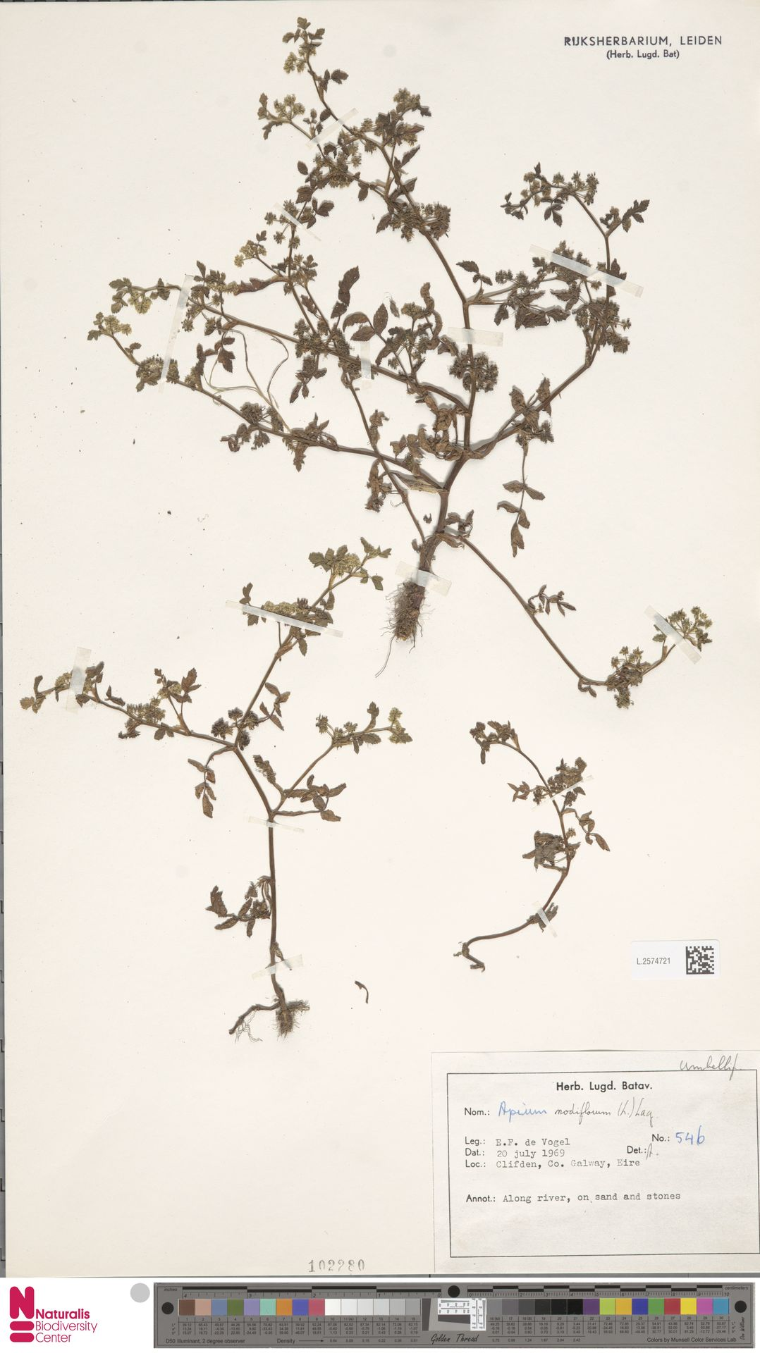 L.2574721   Apium nodiflorum (L.) Lag.