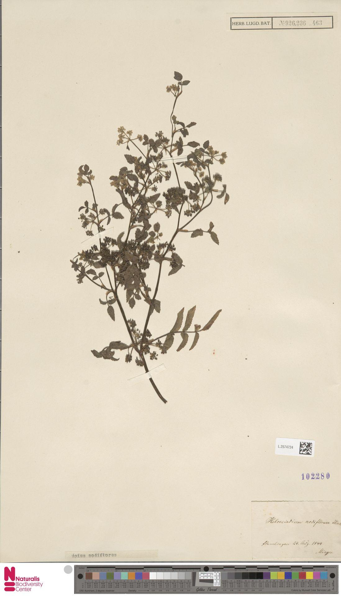L.2574724   Apium nodiflorum (L.) Lag.