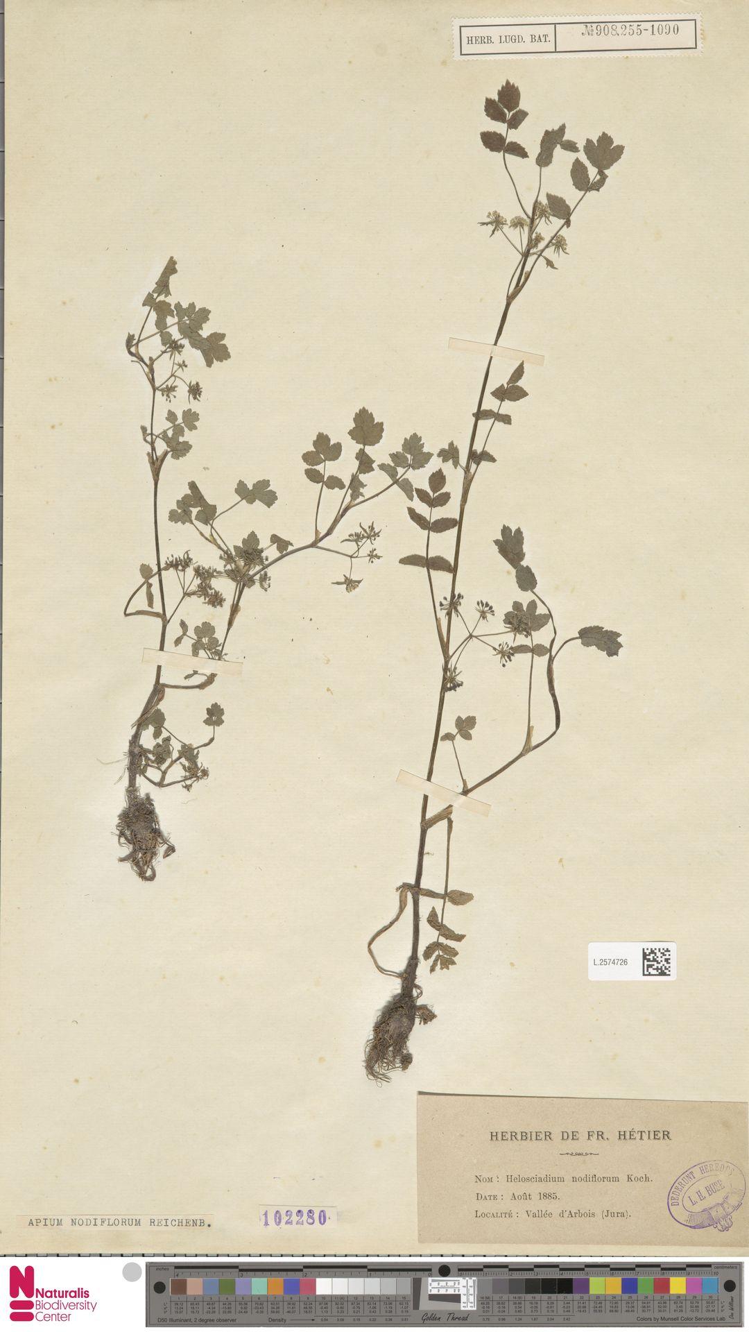 L.2574726 | Apium nodiflorum (L.) Lag.