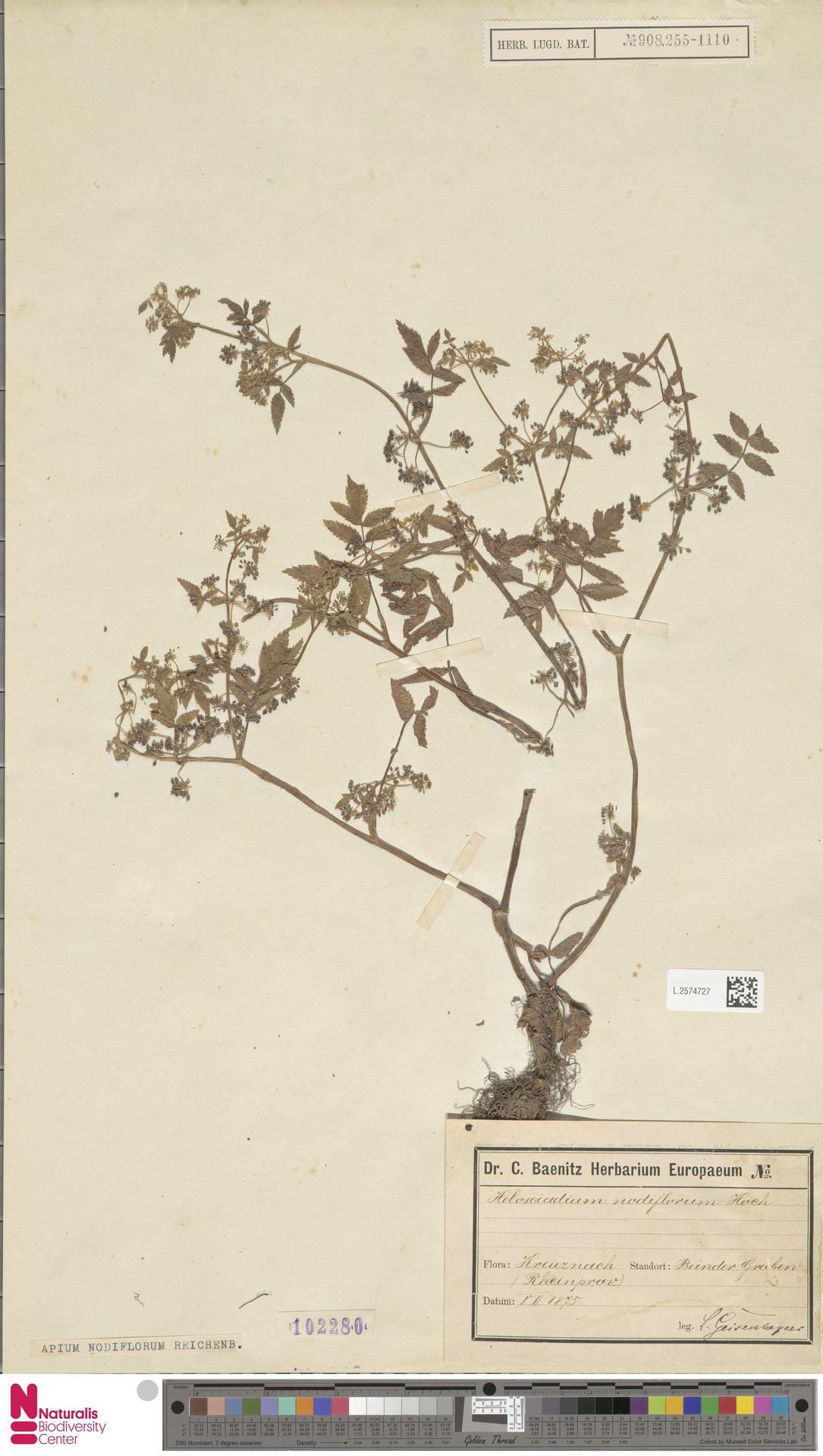 L.2574727 | Apium nodiflorum (L.) Lag.