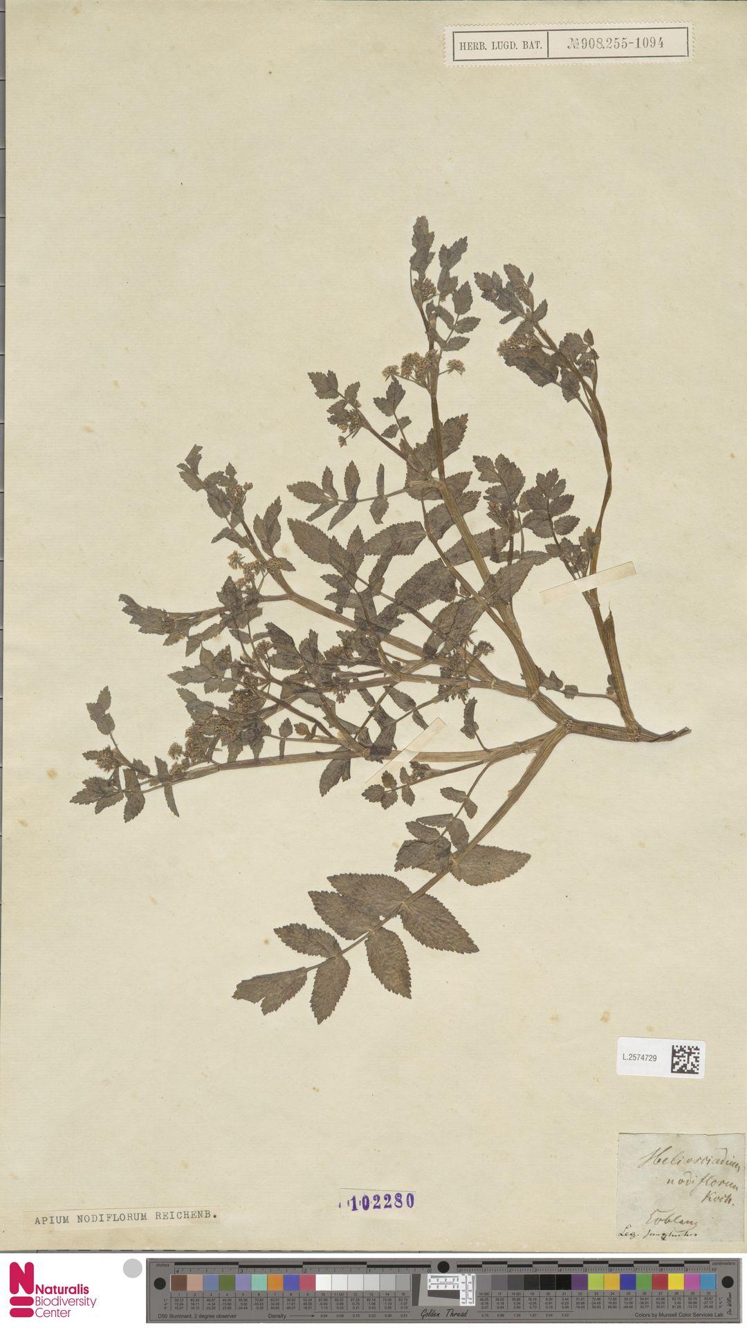 L.2574729 | Apium nodiflorum (L.) Lag.