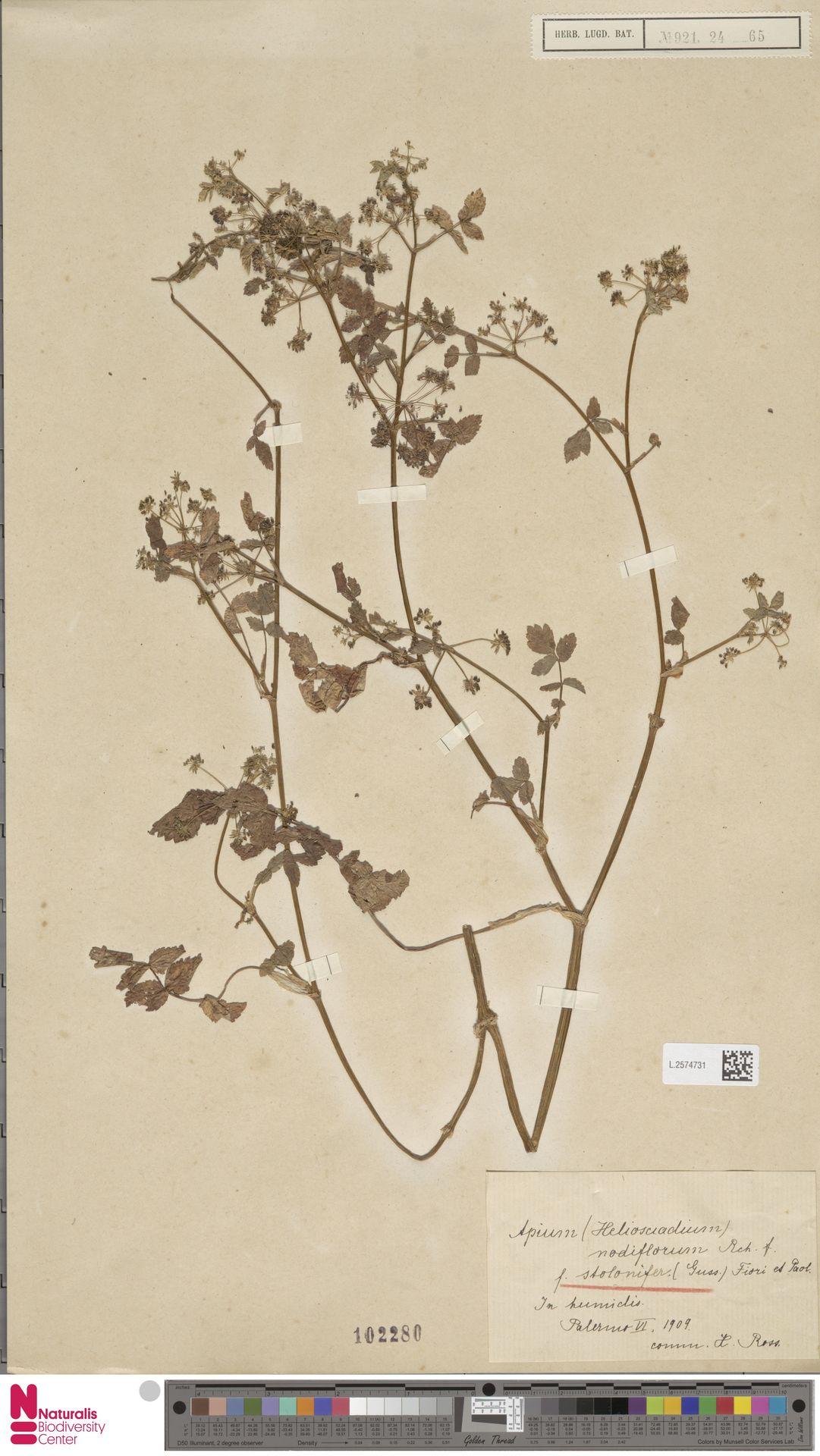 L.2574731 | Apium nodiflorum (L.) Lag.
