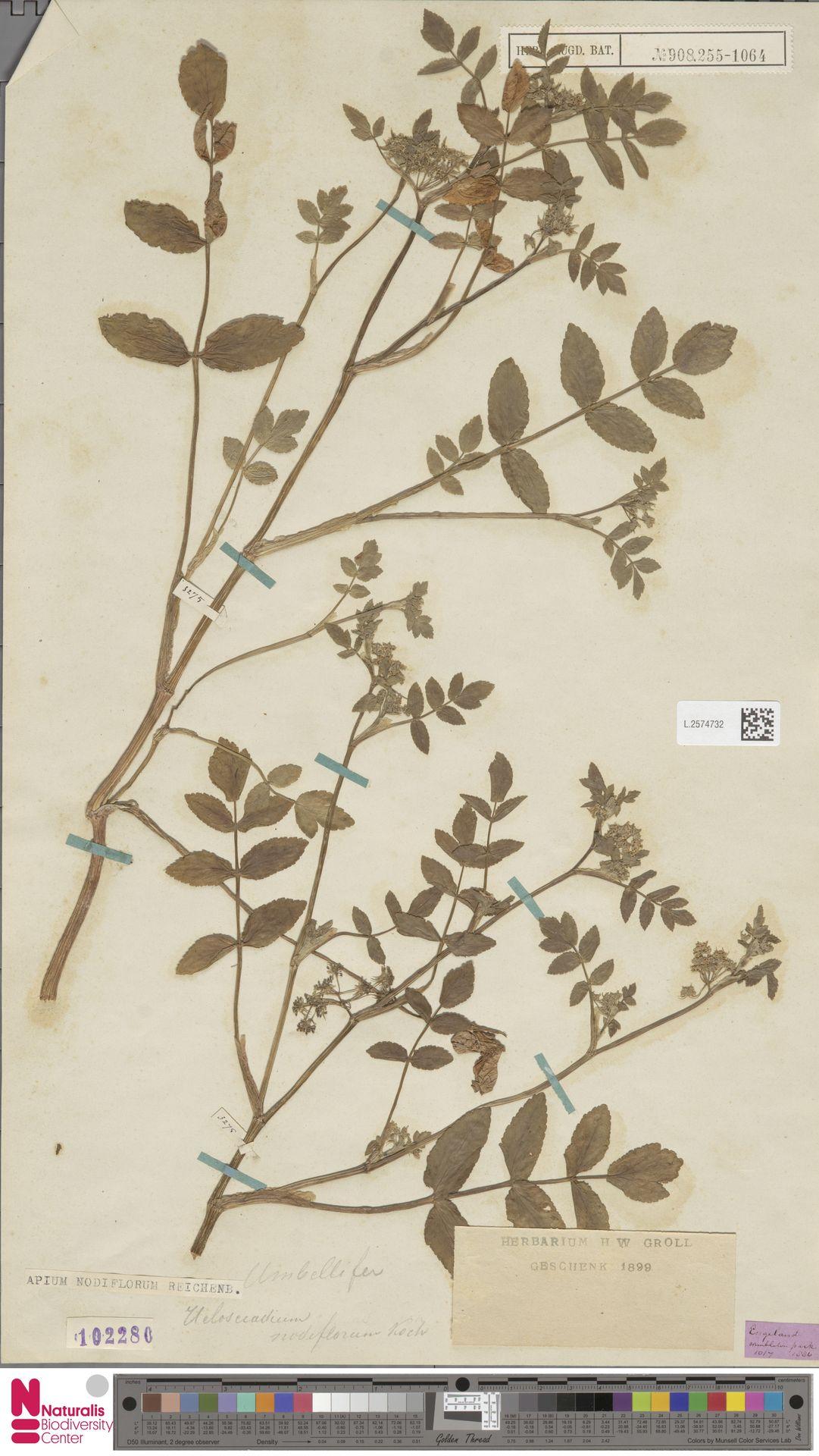 L.2574732 | Apium nodiflorum (L.) Lag.