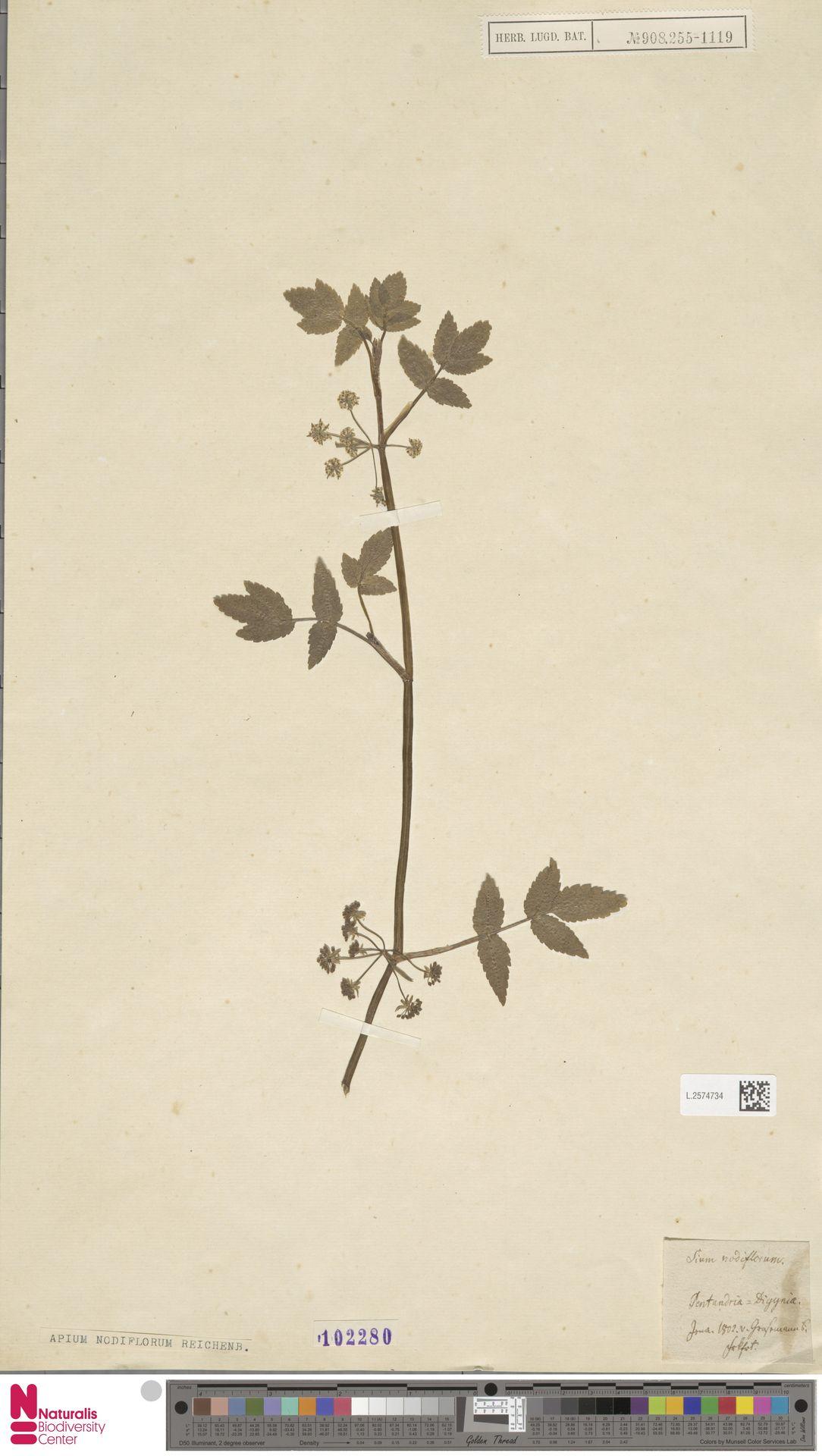 L.2574734 | Apium nodiflorum (L.) Lag.