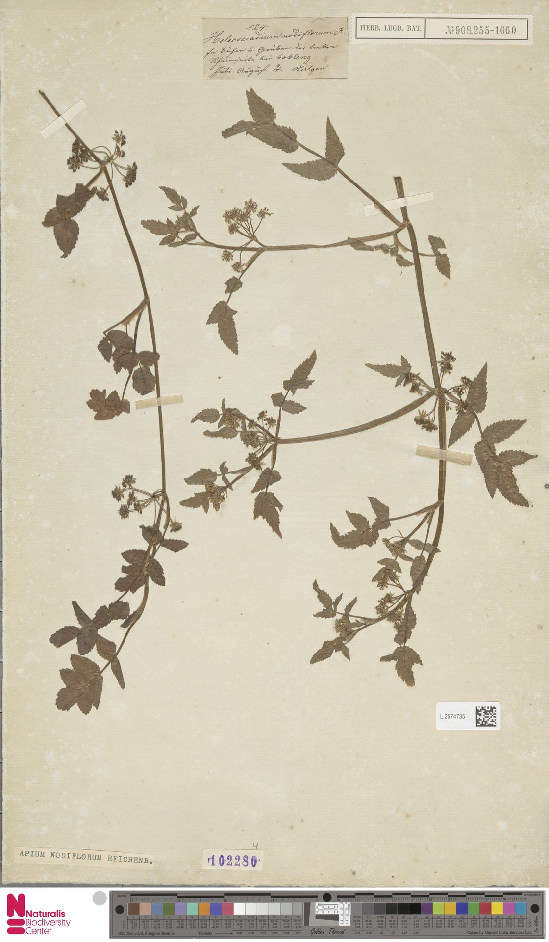 L.2574735 | Apium nodiflorum (L.) Lag.
