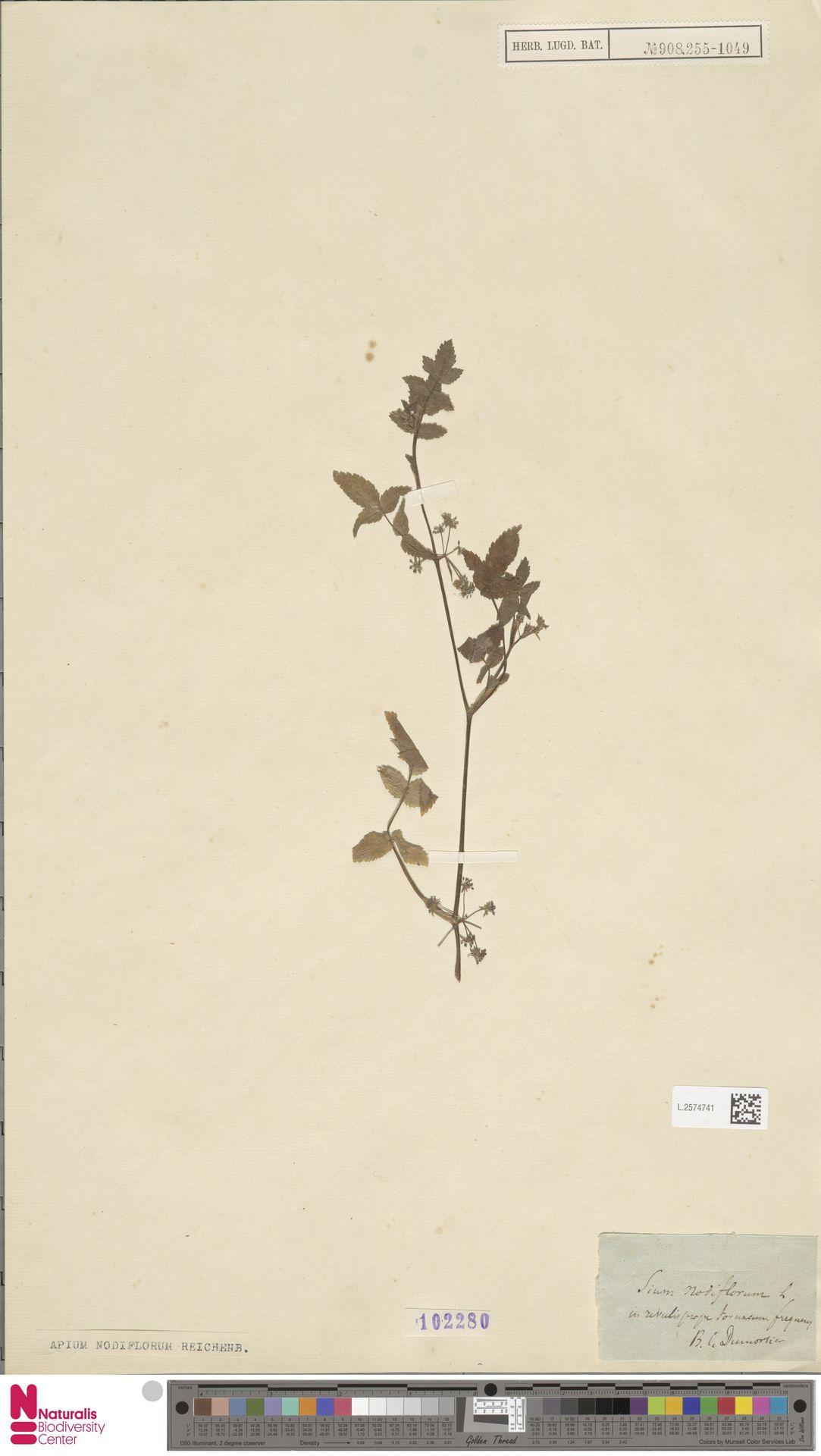 L.2574741 | Apium nodiflorum (L.) Lag.