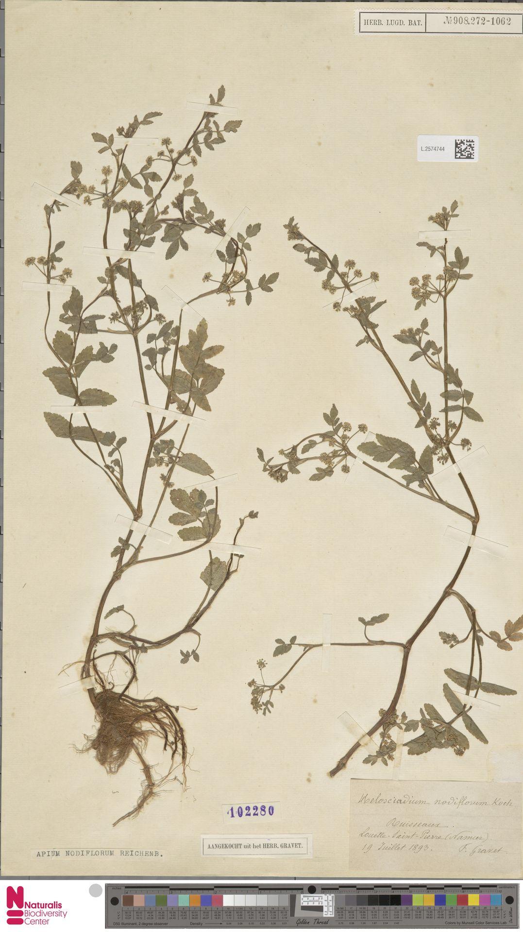 L.2574744 | Apium nodiflorum (L.) Lag.