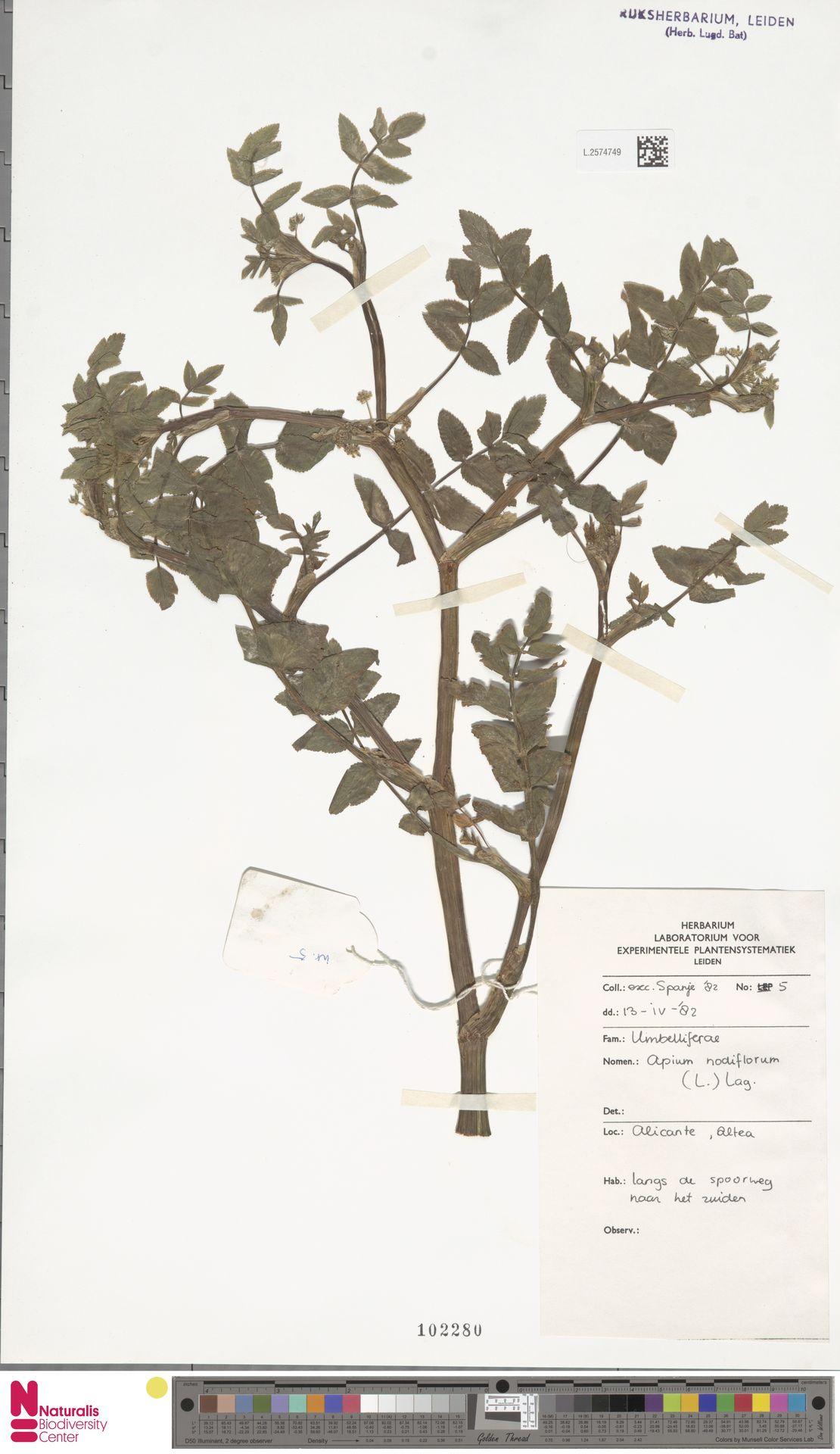 L.2574749 | Apium nodiflorum (L.) Lag.