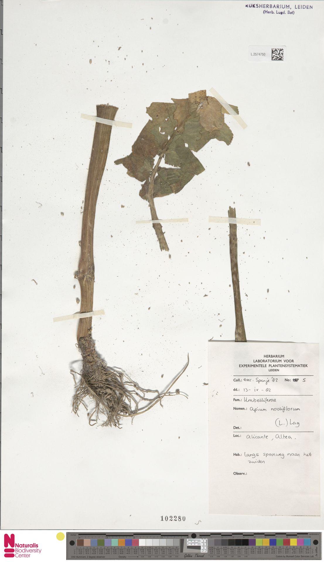 L.2574750 | Apium nodiflorum (L.) Lag.