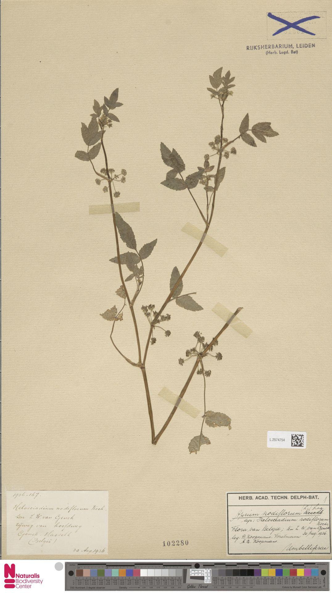 L.2574754 | Apium nodiflorum (L.) Lag.