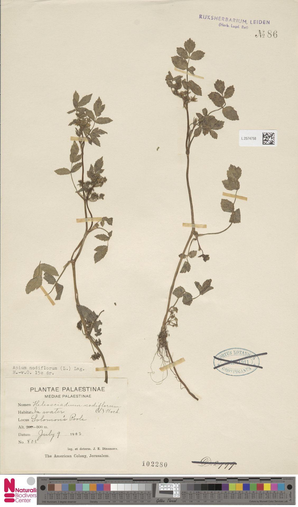 L.2574758   Apium nodiflorum (L.) Lag.
