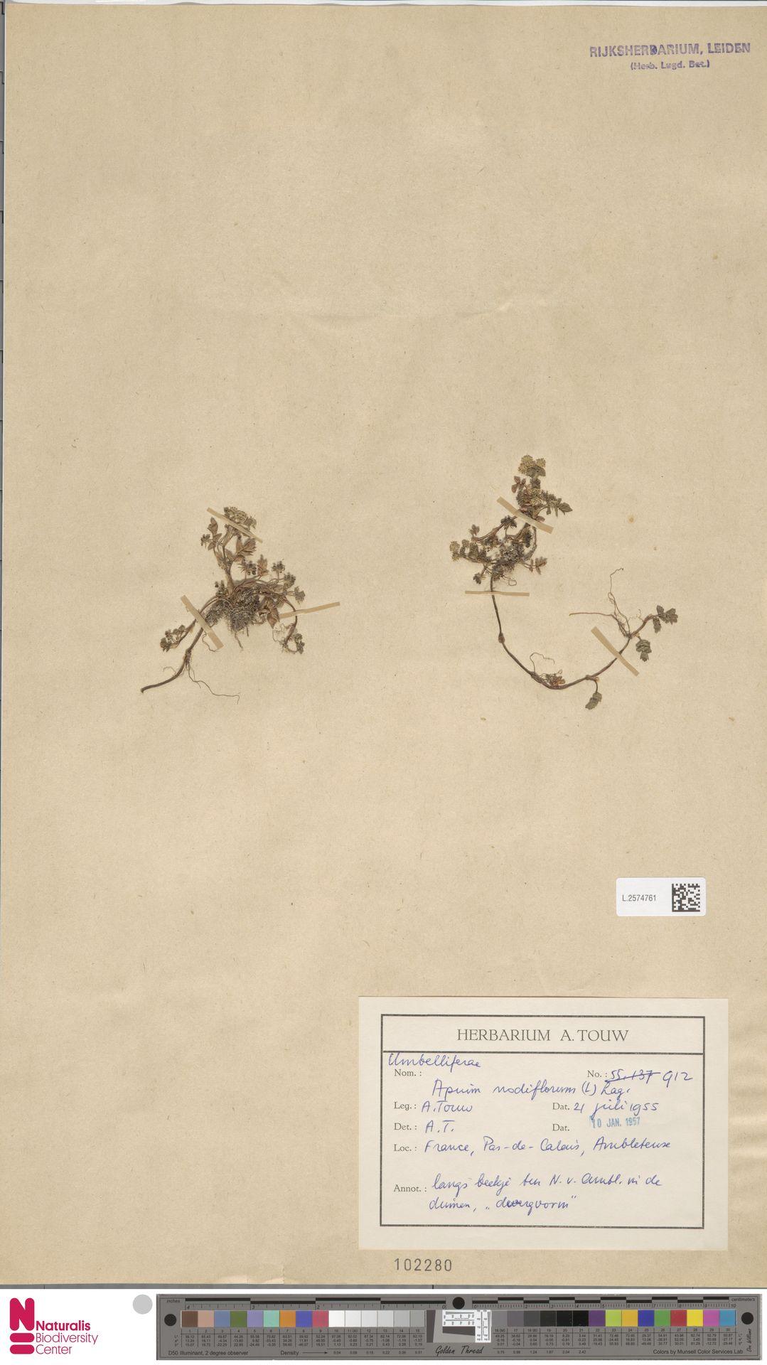 L.2574761 | Apium nodiflorum (L.) Lag.