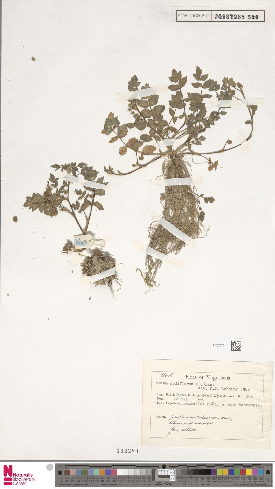 L.2574771   Apium nodiflorum (L.) Lag.