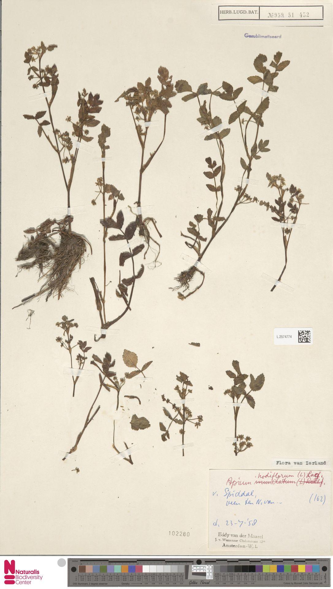 L.2574774 | Apium nodiflorum (L.) Lag.