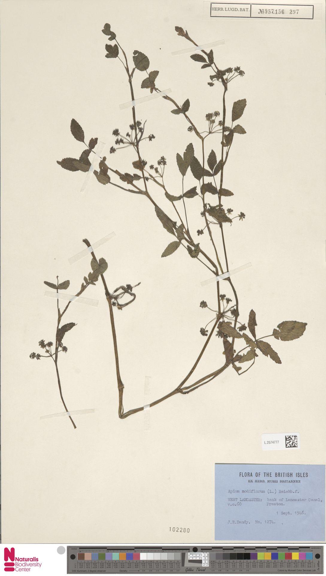 L.2574777 | Apium nodiflorum (L.) Lag.