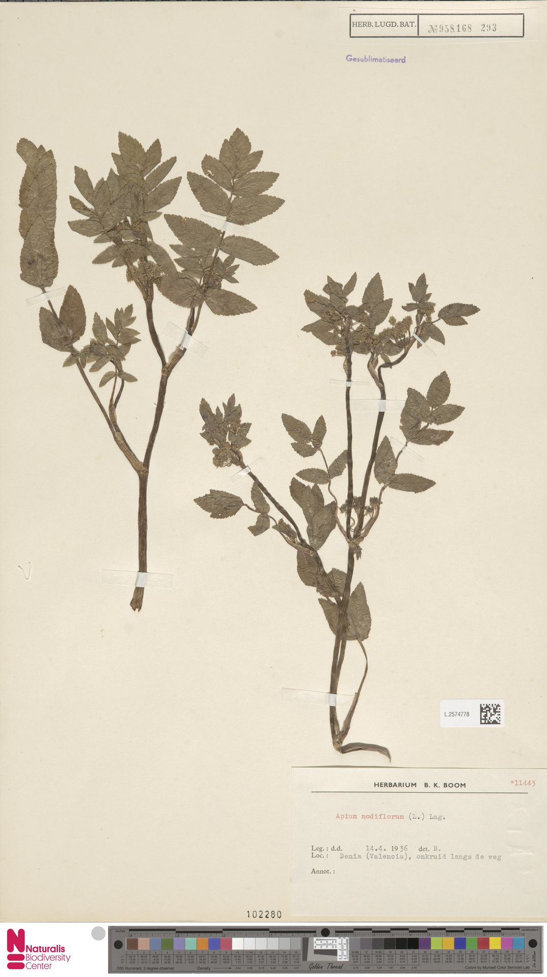 L.2574778 | Apium nodiflorum (L.) Lag.