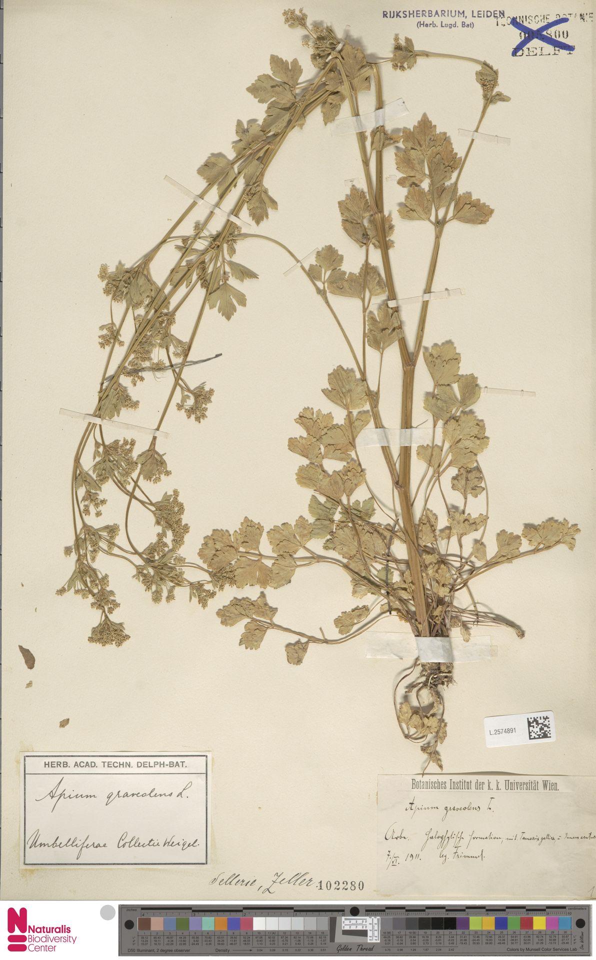 L.2574891 | Apium graveolens L.
