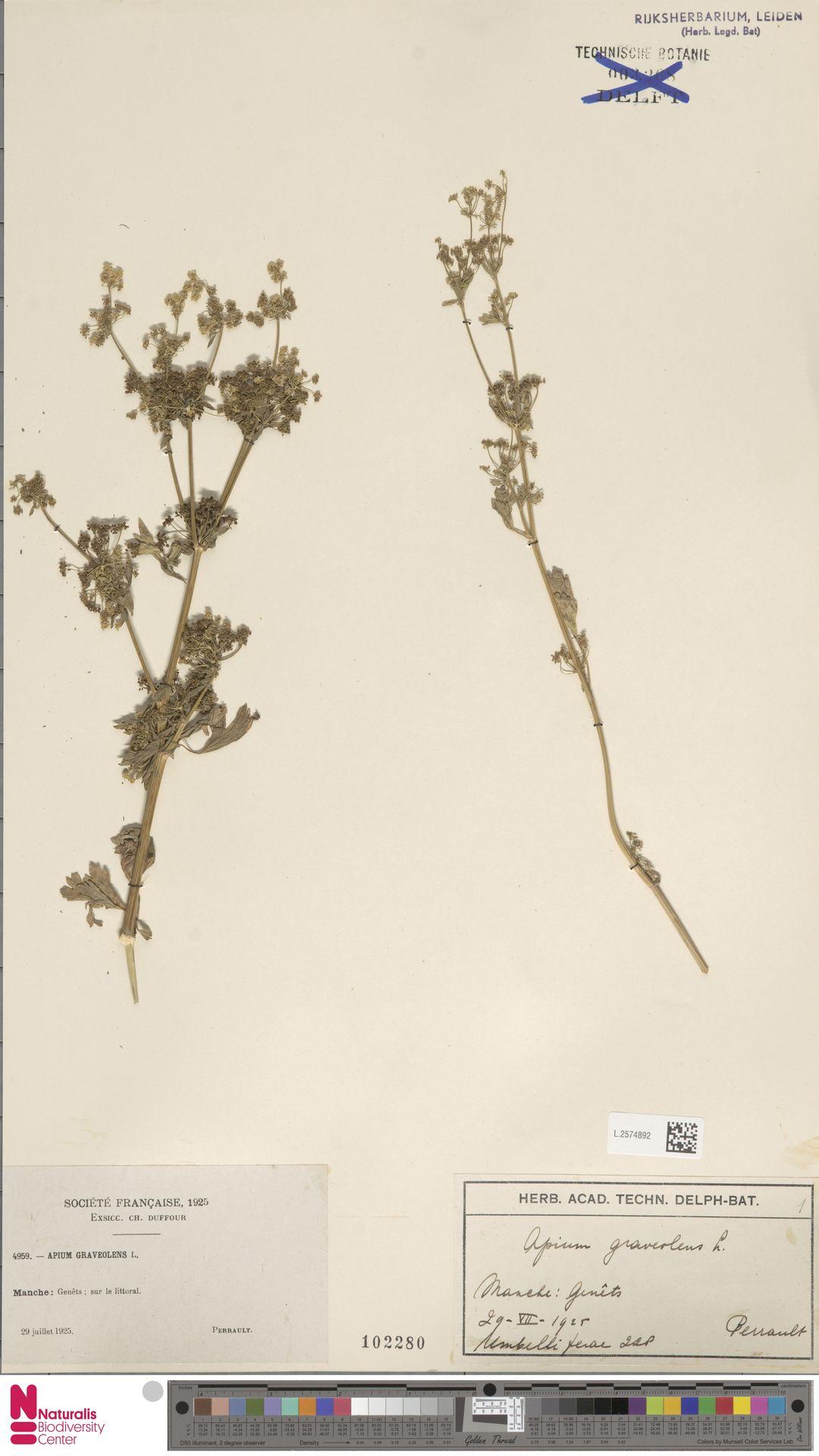 L.2574892   Apium graveolens L.