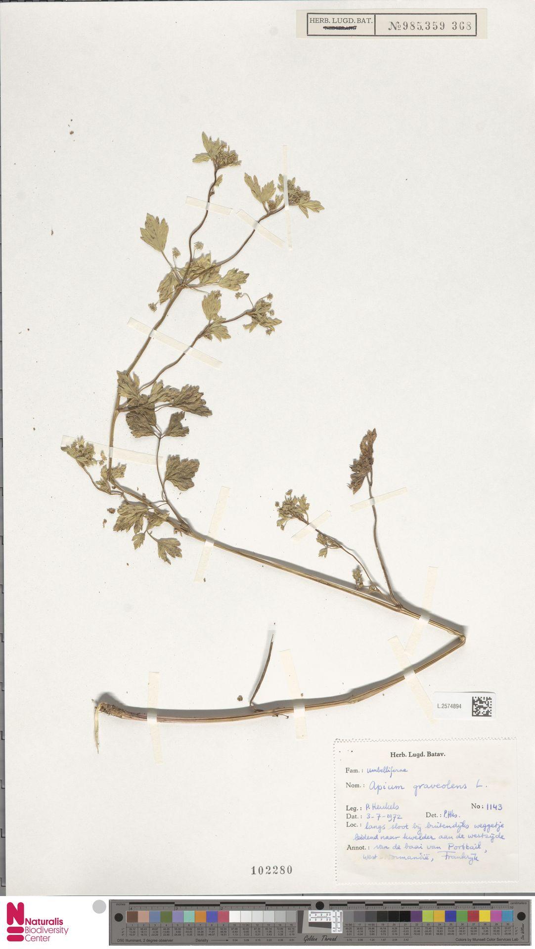 L.2574894 | Apium graveolens L.