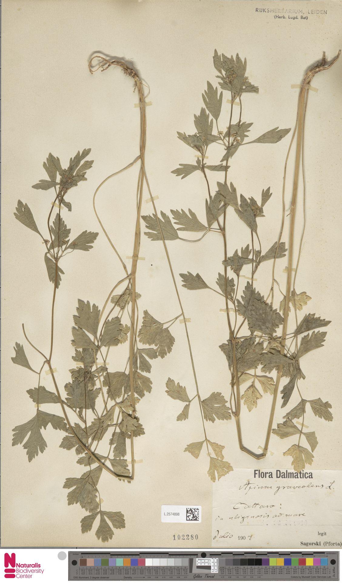 L.2574898   Apium graveolens L.
