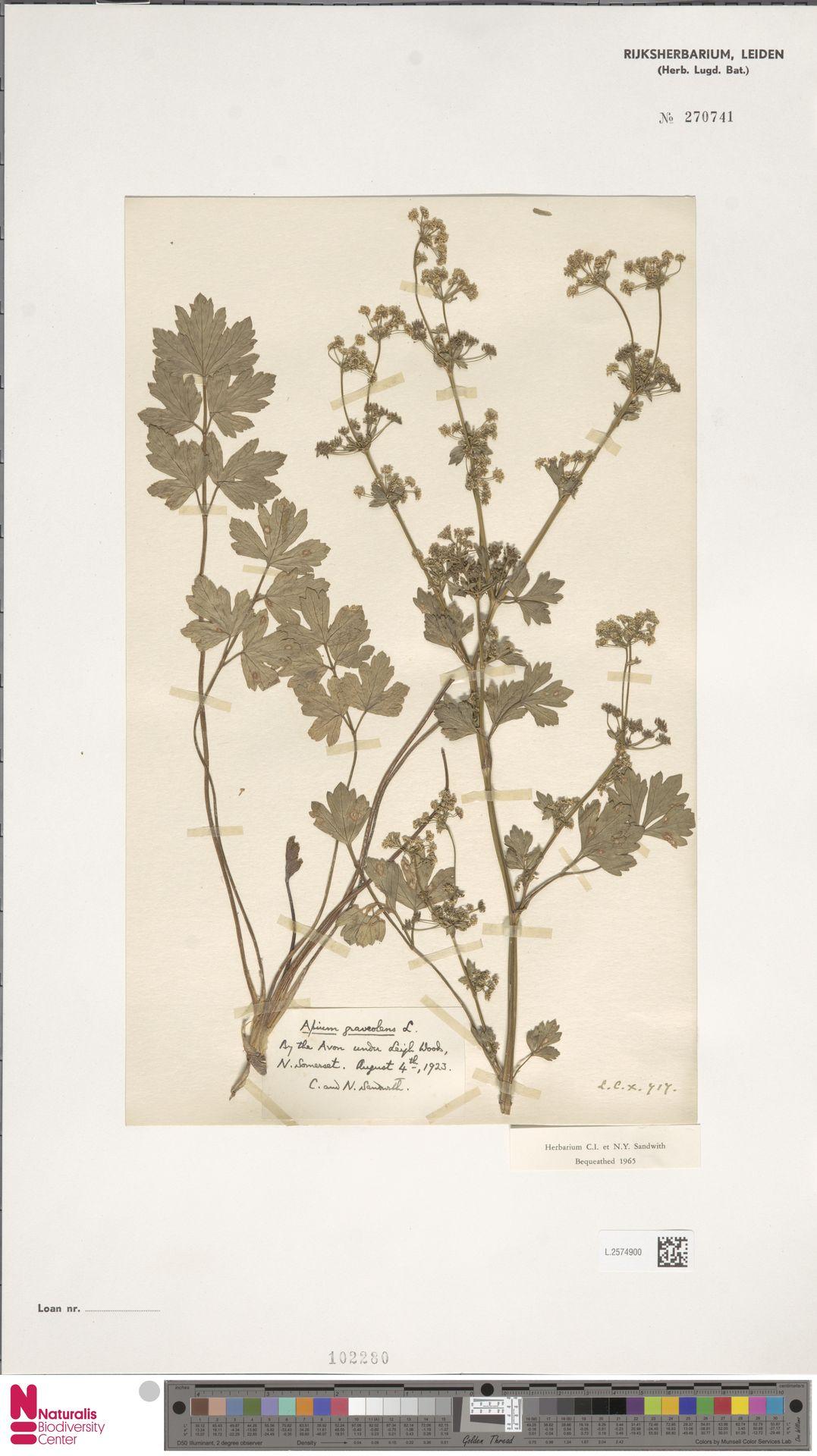 L.2574900 | Apium graveolens L.