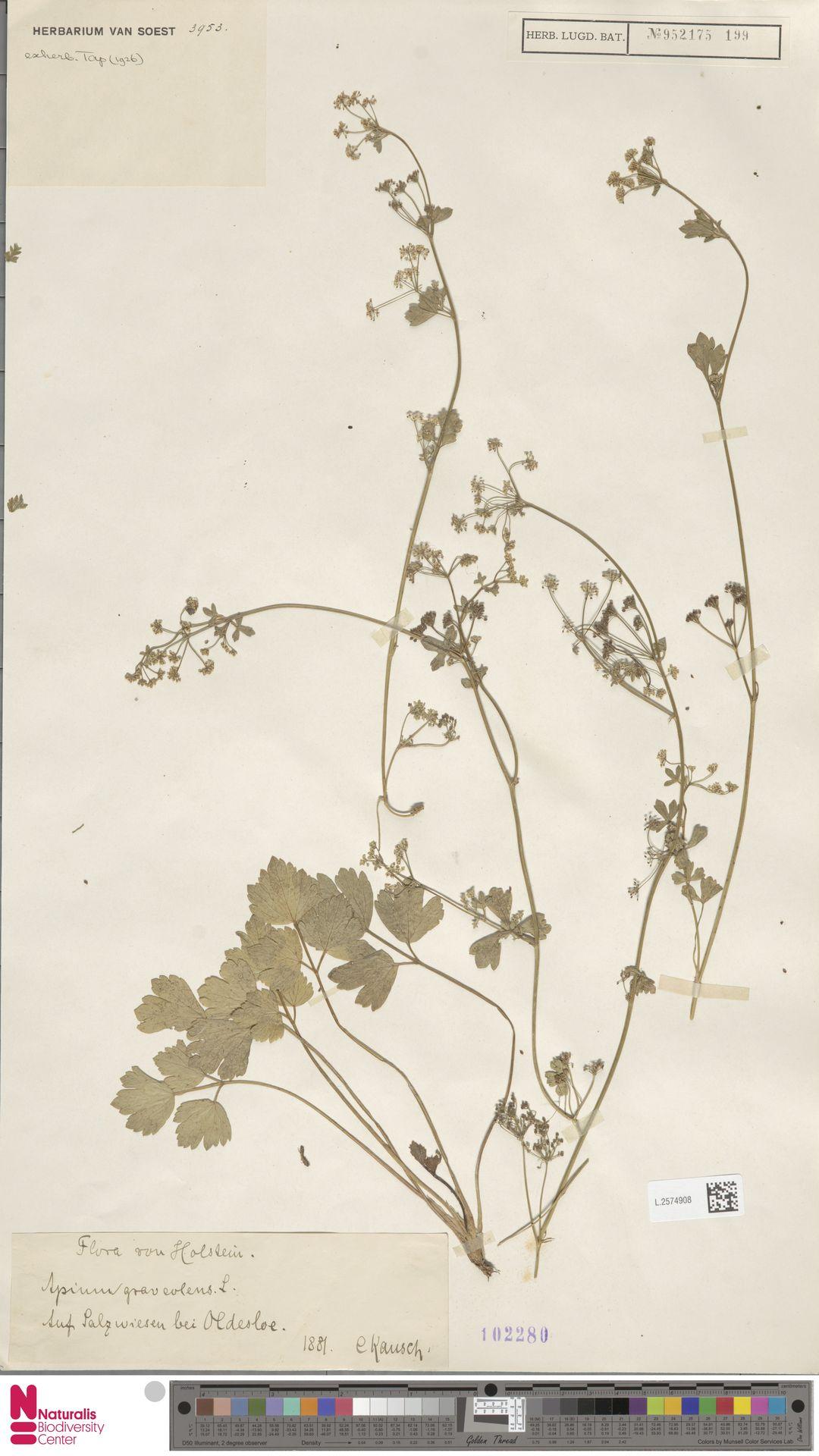 L.2574908 | Apium graveolens L.