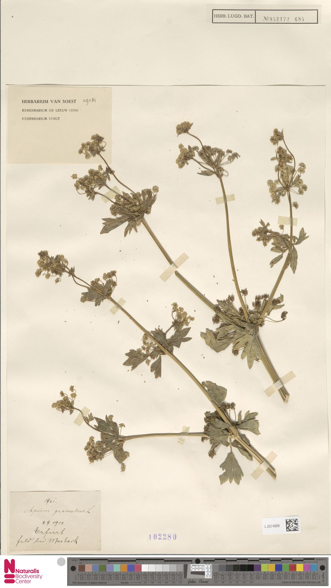 L.2574909 | Apium graveolens L.