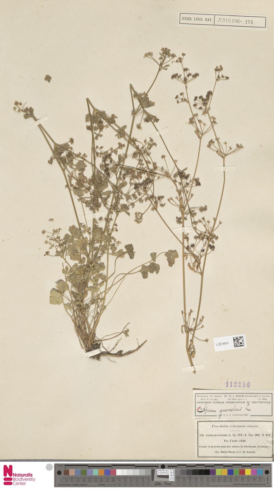 L.2574910 | Apium graveolens L.
