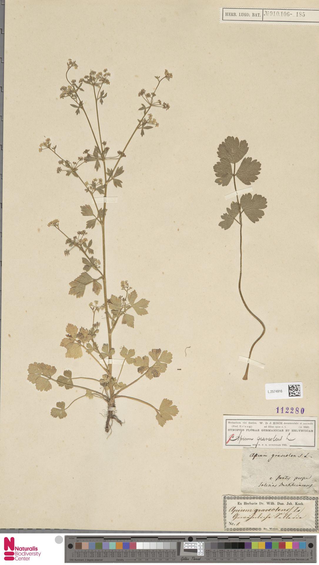L.2574916   Apium graveolens L.