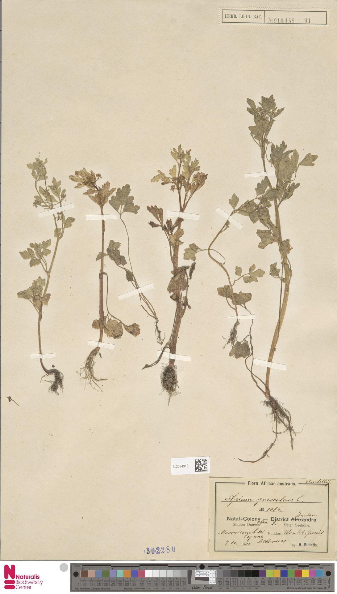 L.2574918 | Apium graveolens L.