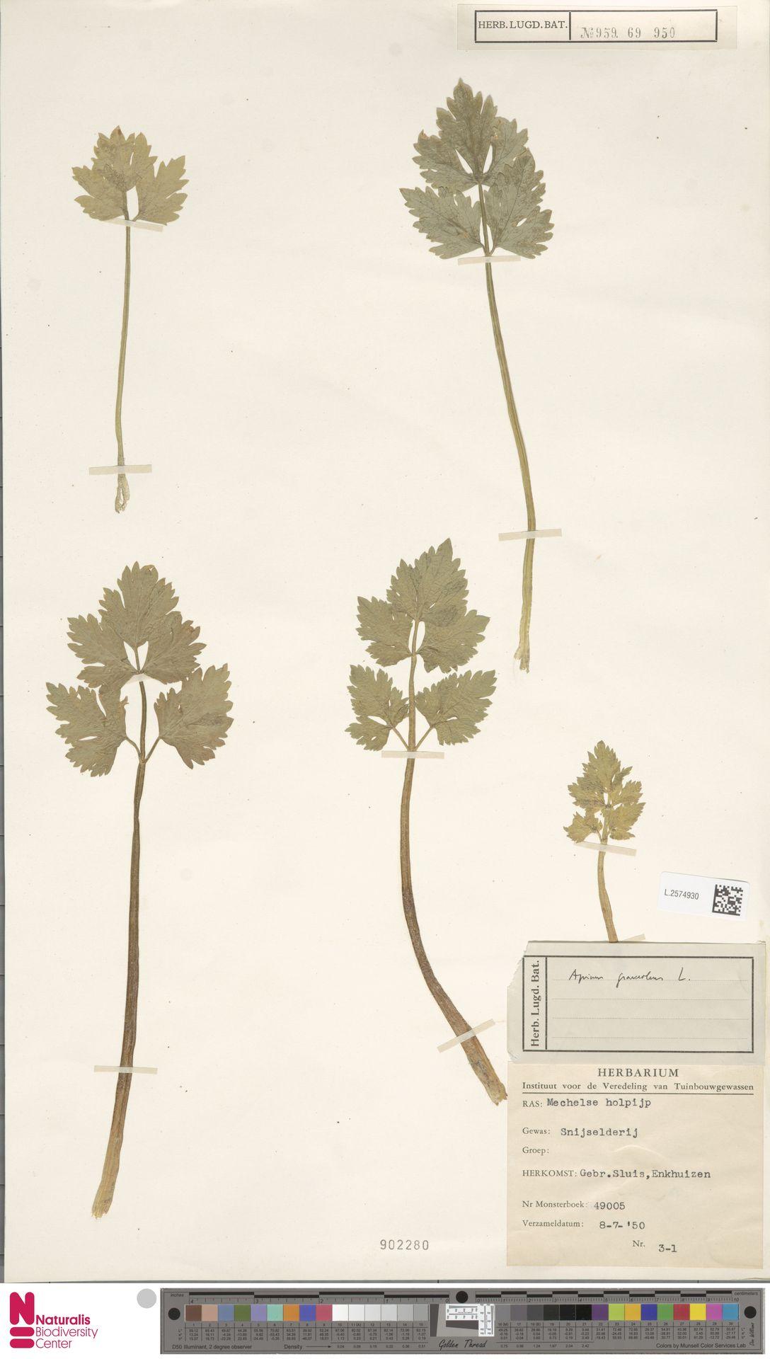 L.2574930 | Apium graveolens L.