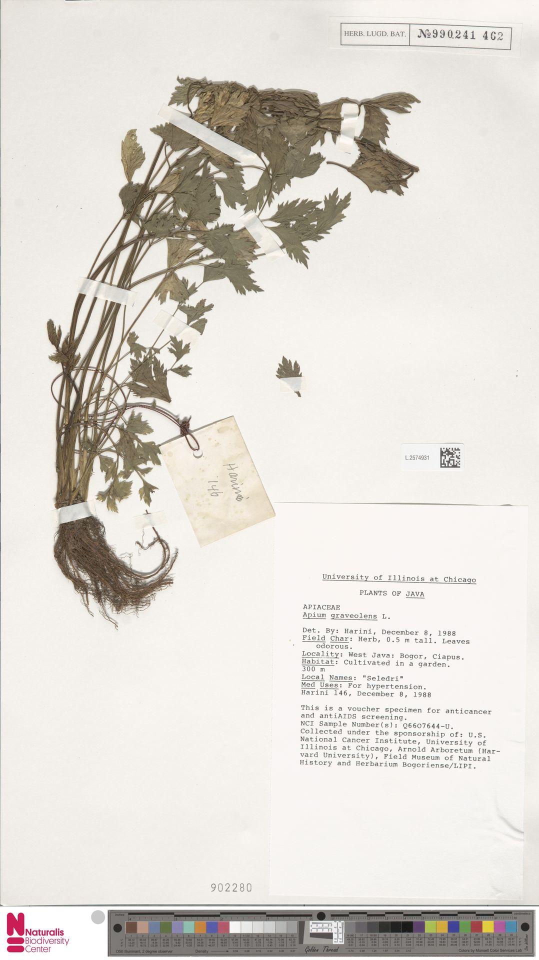 L.2574931 | Apium graveolens L.