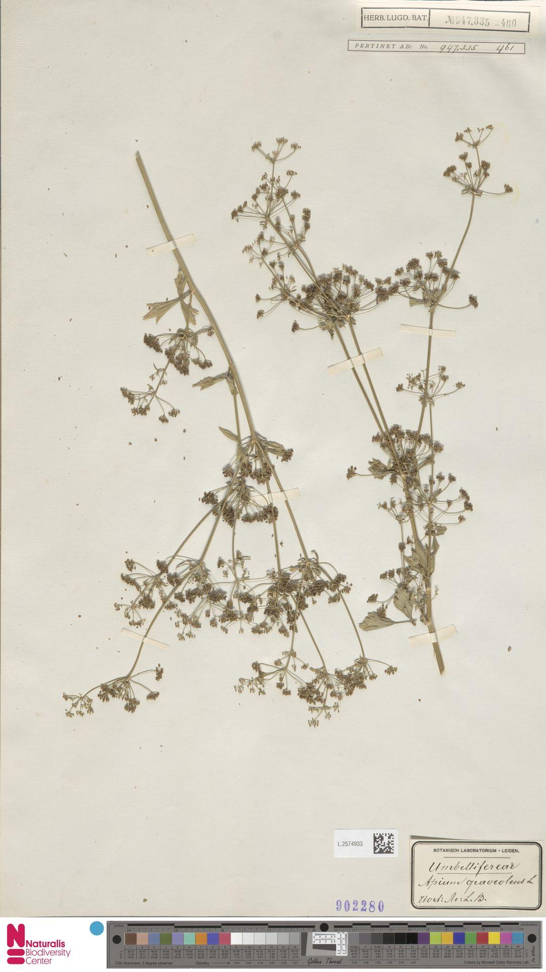 L.2574933 | Apium graveolens L.