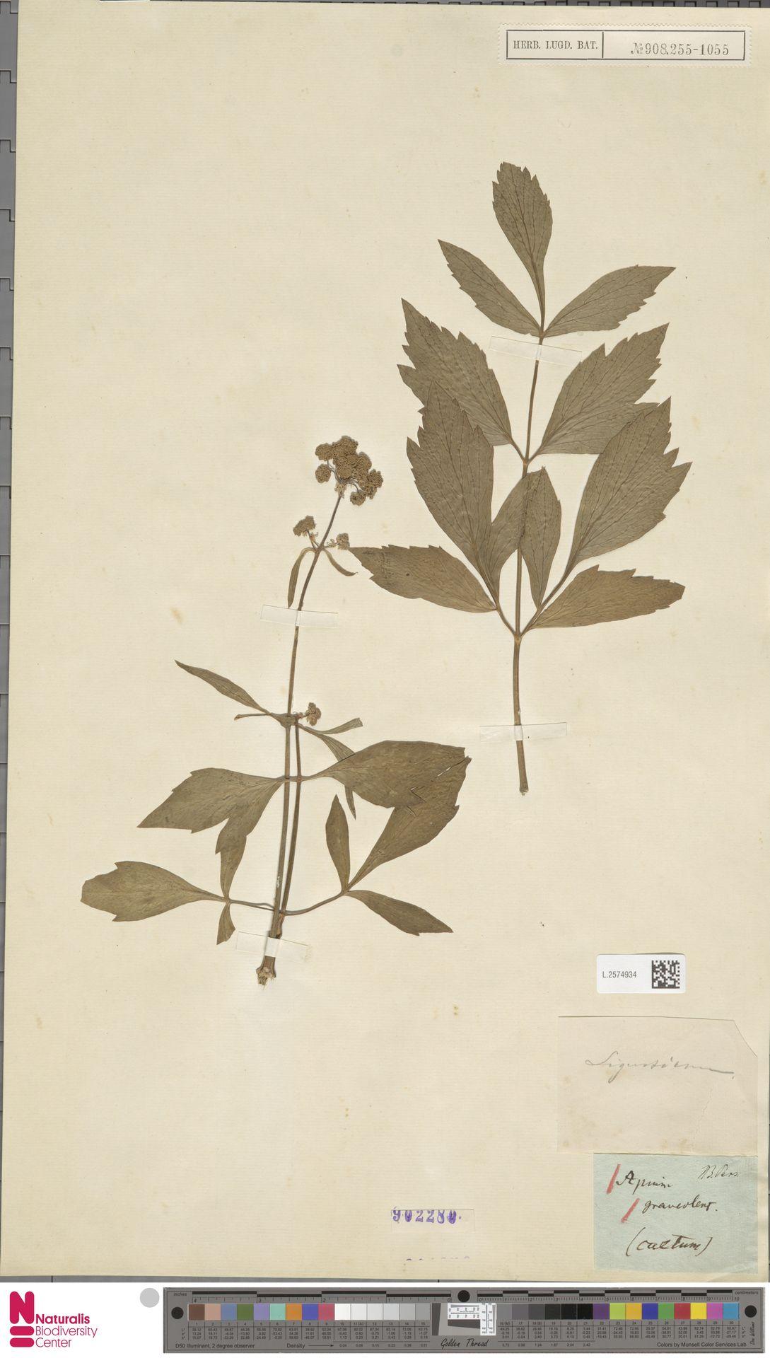 L.2574934 | Apium graveolens L.