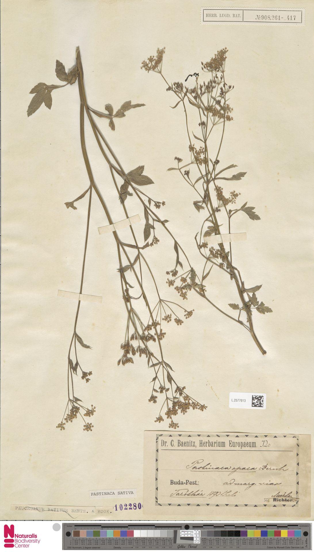 L.2577613   Pastinaca sativa L.