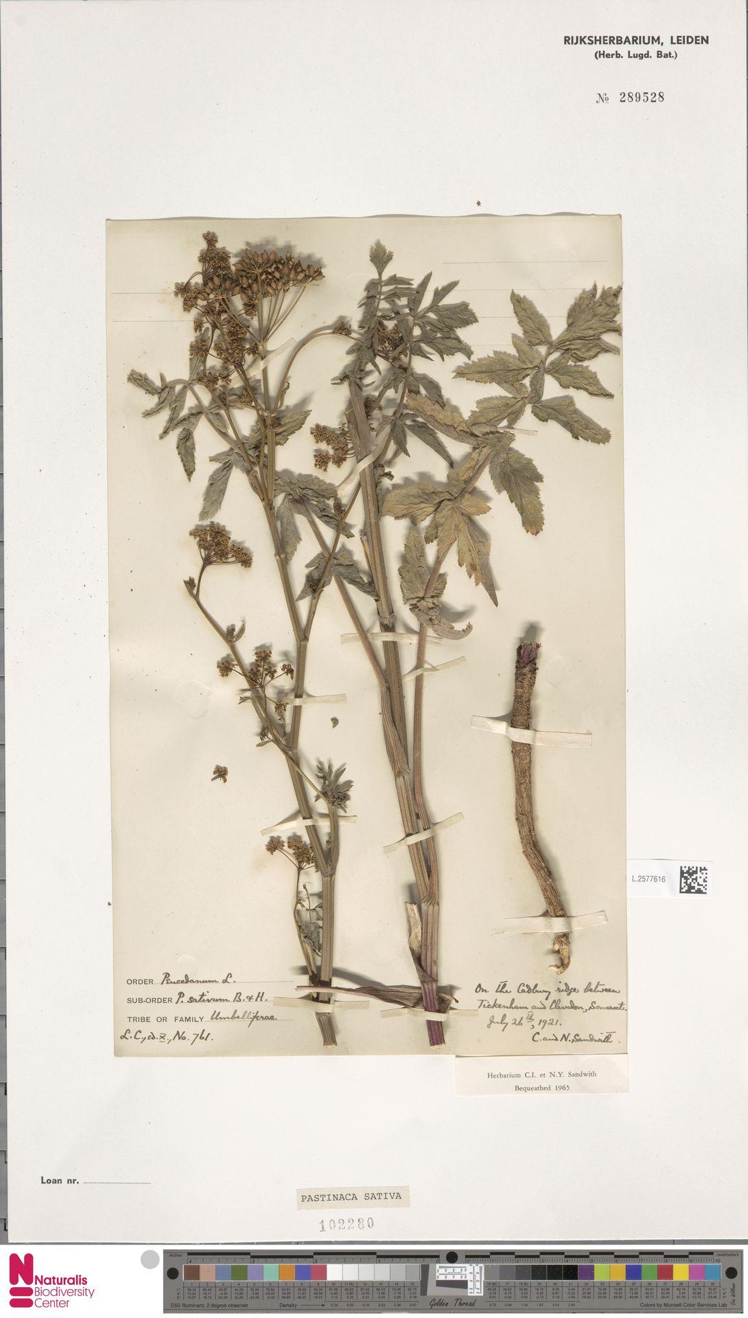 L.2577616   Pastinaca sativa L.